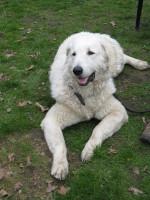 Junger Kuvasz Rüde (Herdenschutzhund) im Platz in unserer Hundeschule in Gladbeck