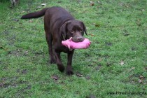 Labrador Hündin die ein Sielzeug freudig zu ihrem Besitzer bringt