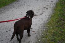 Training zur Leinenführigkeit in Gladbeck Wittringen mit einem Labrador