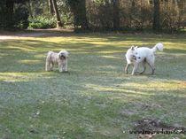 Weißerschäferhund lässt sich aus dem Siel mit einem anderen Hund abrufen