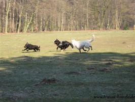 Große Hunde im freien Spiel in Gladbeck Wittringen