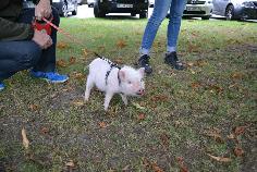 Paul das Minischwein an der Leine beim Training in der Hundeschule in Gladbeck