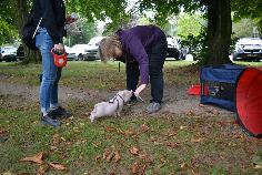Minischwein mit Clicker und Targetstick in der Hundeschule Oberhausen