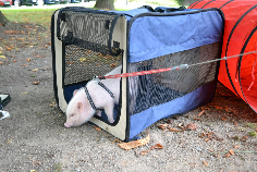 Minischwein beim Training (Filmtiertraining) in einer Hundebox