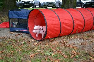Umweltsicher und sicheres laufen an Leine und Geschirr zeigt Minischwein (Microschwein) Paul in der Hundeschule in Gladbeck