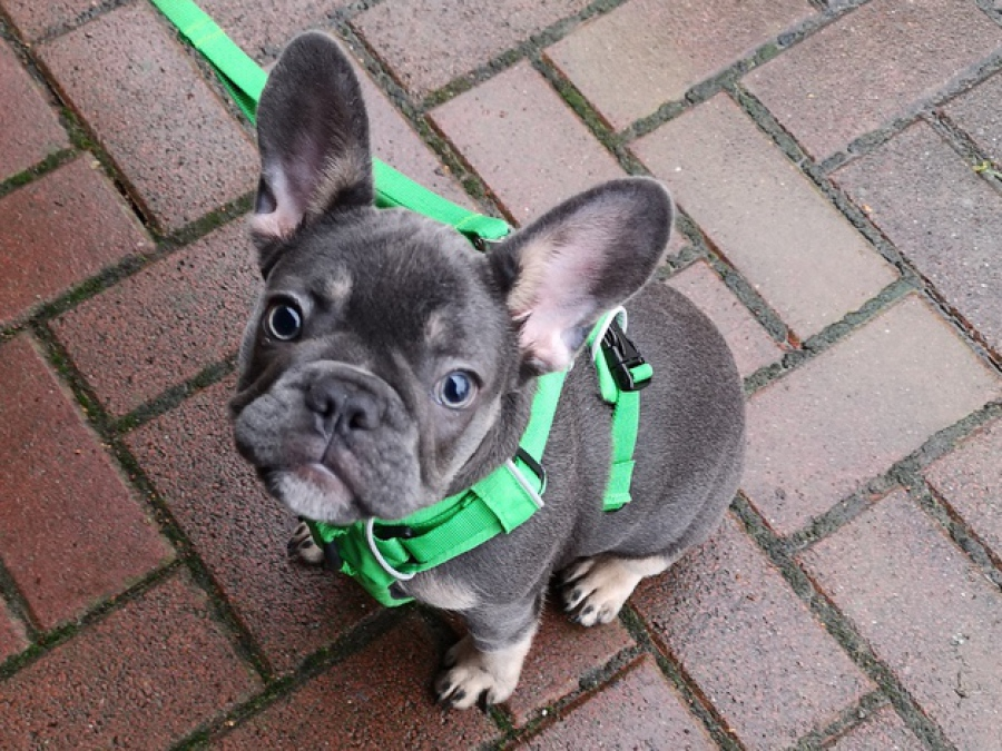 Französische Bulldogge, French Bully, Welpe in einer seltenen Färbung, im Welpenkurs der Hundeschule Traum-Hunde in Gladbeck. Auch die Welpenspielstunde und die Welpenschule besucht er fleißig