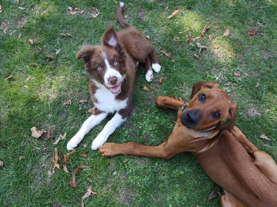 Austrailian Shepherd und Rhodesian Ridgeback Welpen, Junghunde im gemeinsamen Spiel im Junghundekurs der Hundeschule Traum-Hunde in Gladbeck am Wasserschloss Wittringen