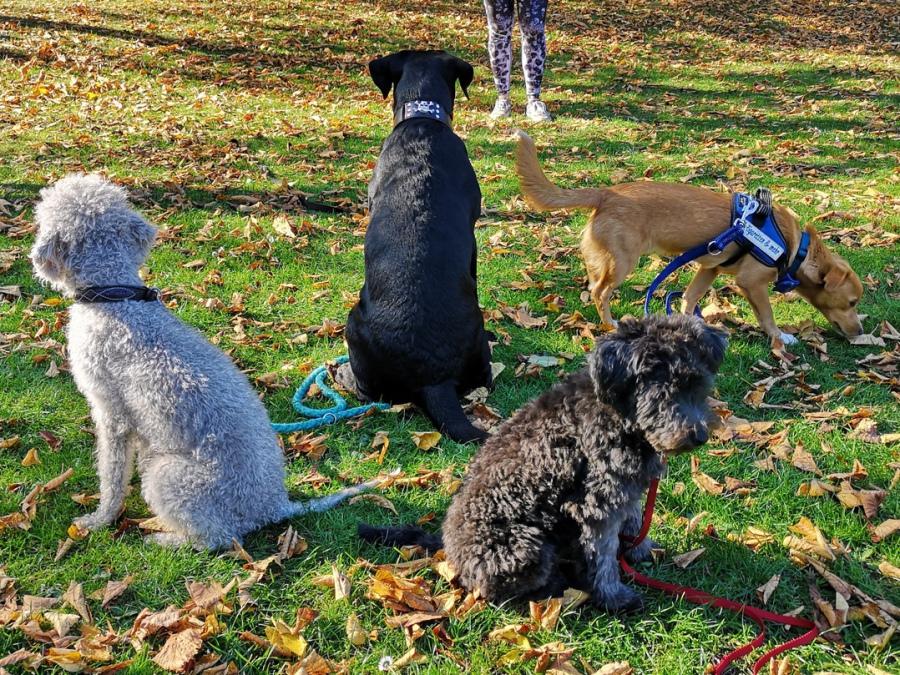 Pudel, Sheltie, Labrador Retriever, Bedlington Terrier und Mischling aus einem Tierheim in Rumänien beim Training im Grundkurs der Hundeschule Traum-Hunde in Gladbeck am Wasserschloss Wittringen