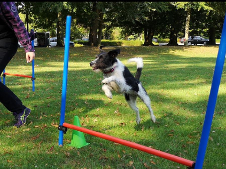 Border Collie Terrier Mix aus dem Tierschutz in Spanien beim Agility mit Hundetrainer der Hundeschule Traum-Hunde in Gladbeck am Wasserschloss Wittringen