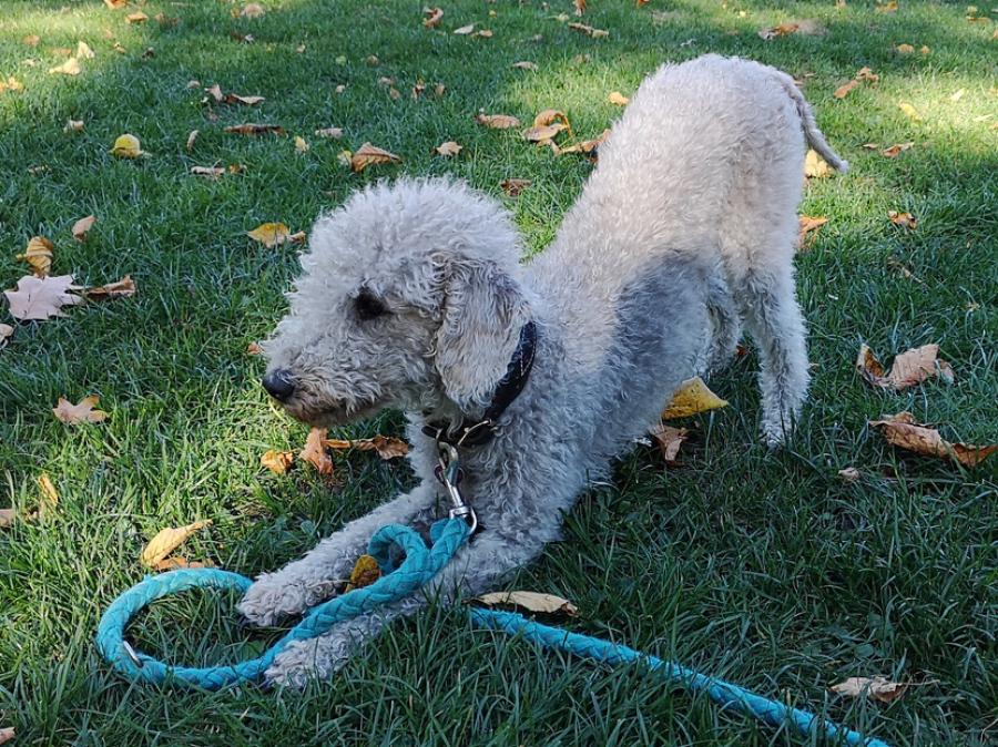 Bedlington Terrier oder Pudel, nicht haarend, beim Clicker Training und Trickdogging in der Hundeschule Traumhunde in Gladbeck am Wasserschloss Wittringen