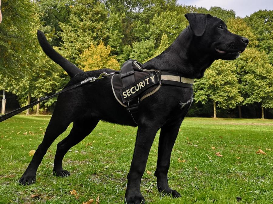 schwarzer Labrador zieht an der Leine und wird trainiert dies nicht mehr zu tun in Gladbeck bei der Hundeschule Traum-Hunde