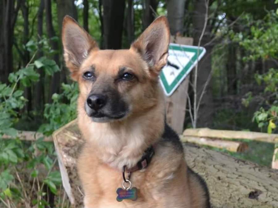 Deutscher Schäferhund Mischling aus dem Auslandstierschutz, Spanien, beim Freilauf mit der Hundeschule Traum-Hunde in Oberhausen