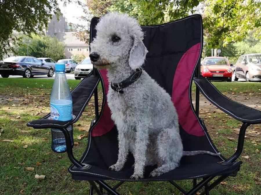 Bedlington Terrier während des Bleib trainings im Welpenkurs der Hundeschule Traum-Hunde am Wasserschloss Wittringen in Gladbeck