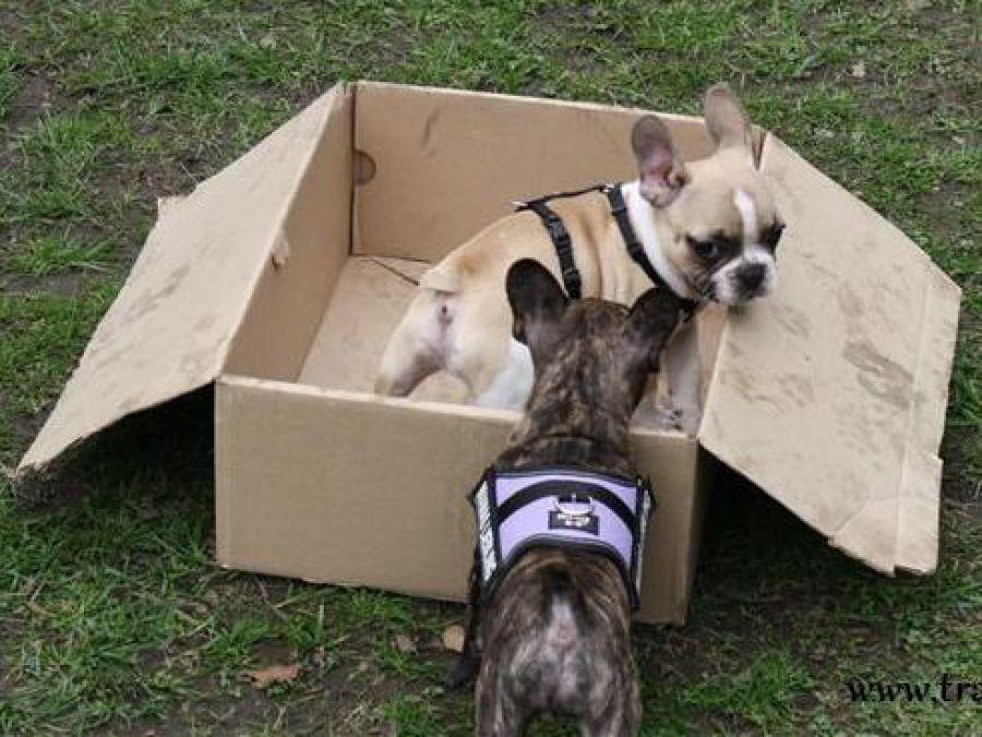 Französische Bulldogge, French Bully Welpen im Spiel in der Hundeschule Traum-Hunde in Gladbeck